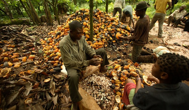 Top Cocoa  Business Production House in Nigeria