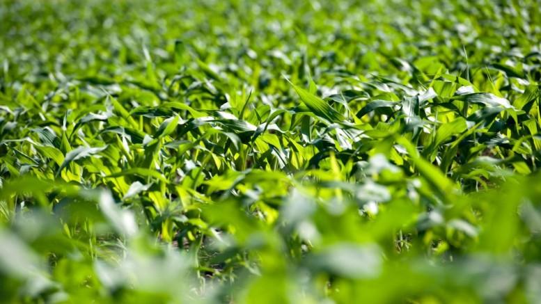 A field of corn grows in Kasbeer, Illinois, U.S., on Monday, June 13, 2011. Photographer: Daniel Acker