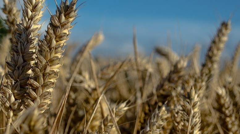 wheat