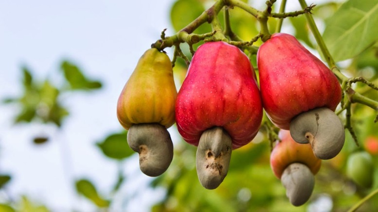 Nigeria to expand Cashew Nut export by 2020
