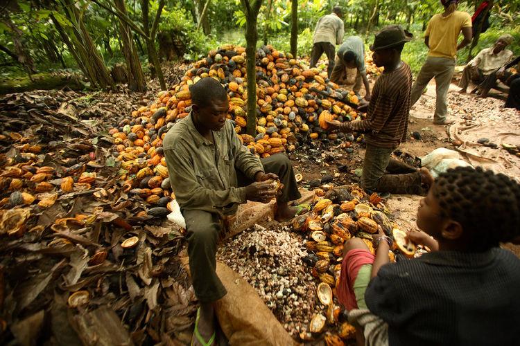 Cocoa farm