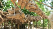 yam production